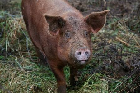 FQ pig